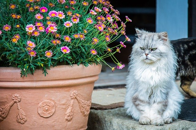 Persian Cat's Price