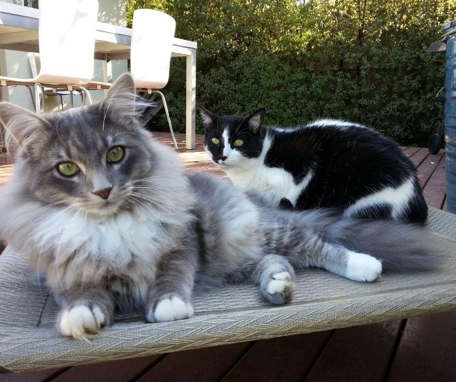 persian cat price